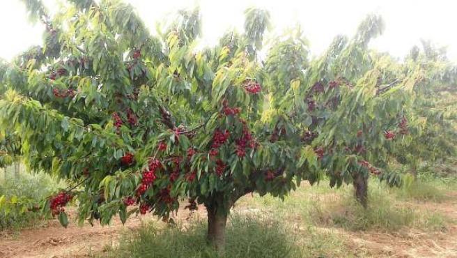 Imagen de uno de los cerezos de las Caderechas