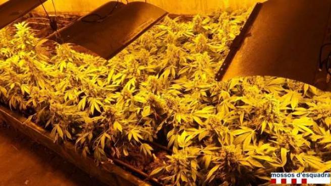 Plantación de marihuana en Cassà de la Selva