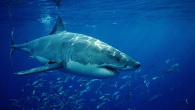 Un ejemplar de tiburón blanco, en una imagen de archivo.