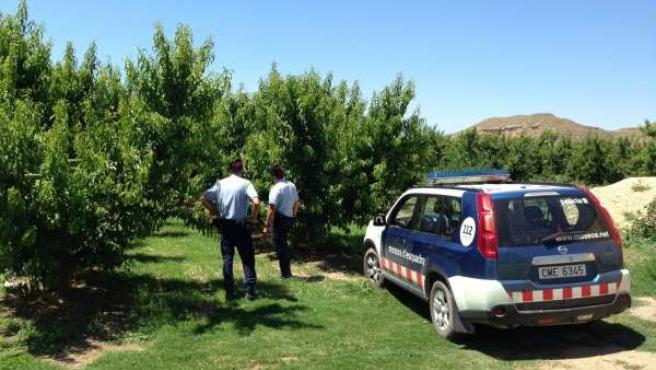 Mossos intensifican vigilancia en el Baix Segre durante recogida de fruta