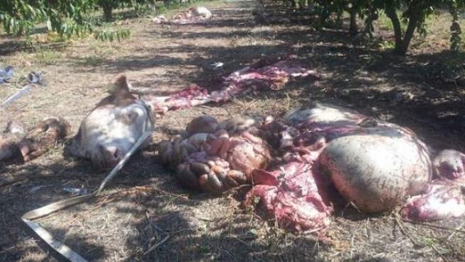 La cabeza y las vísceras de uno de los terneros robados en una granja de Alcarràs (Lleida).
