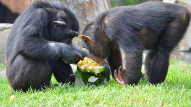 Chimpancés comiendo helados en Bioparc