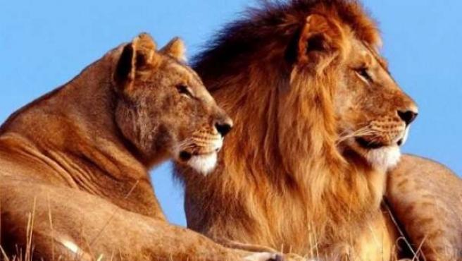 Dos leones.