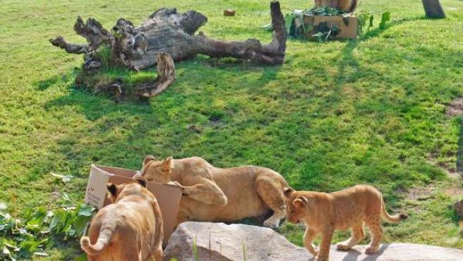 Familia De Leones En El Día Mundial Del Animal En Bioparc Valencia.