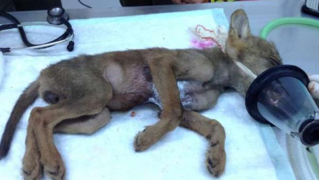La cría de lobo, sometida al examen médico