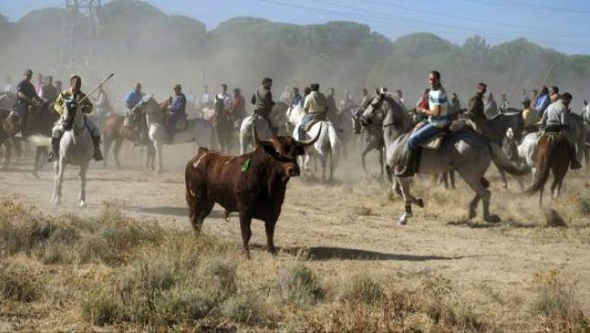 Imagen cedida por Pacma del toro Vulcano, durante el Torneo del Toro de la Vega 2013 celebrado en Tordesillas (Valladolid).