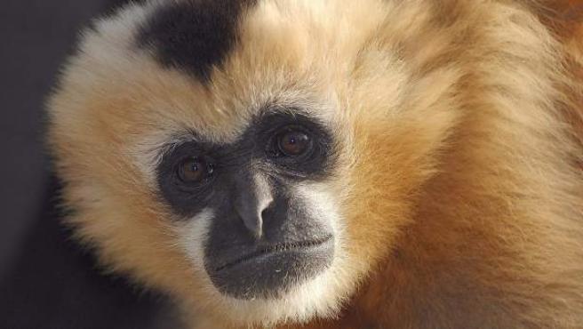 Un grupo de científicos ha secuenciado el genoma completo del gibón, el último simio cuyo material genético quedaba por descifrar.