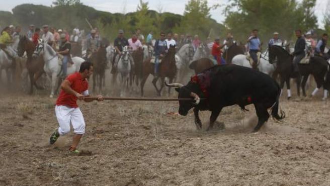 Momento en el que el toro 'Elegido' es abatido por el lancero Álvaro Martín 'Portu' en el Toro de la Vega 2014.