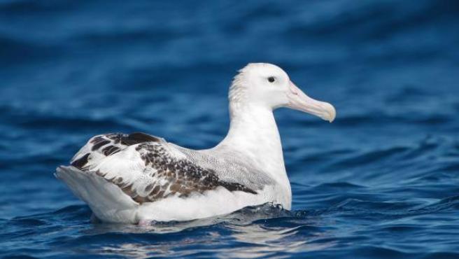 Albatros viajero, una gran ave migratoria que ha sufido una importante caída en su población, según el informe 'Planeta Vivo' de WWF.