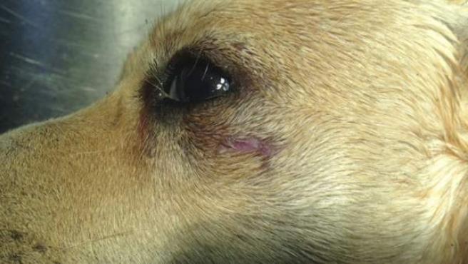 Fotografía facilitada por Juan Manuel Taboada, el veterinario que atendió al perro (en la imagen) que murió en Cuevas del Almanzora (Almería).