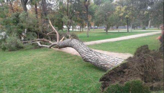 Un pino cae en el parque del Retiro de Madrid, cerca de la cuesta de Moyano.