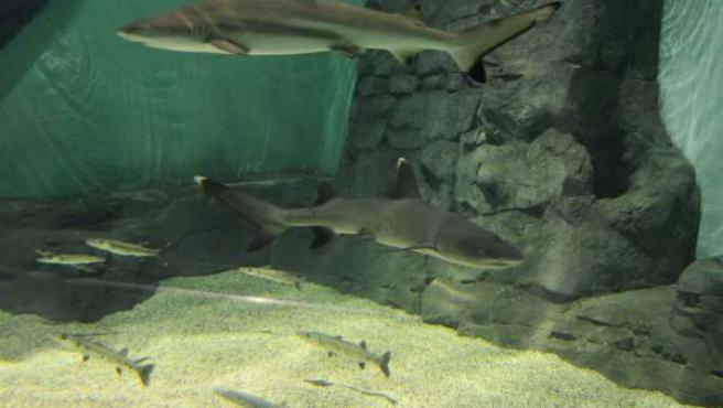 Tiburones puntas negras y blancas en el Acuario de Sevilla