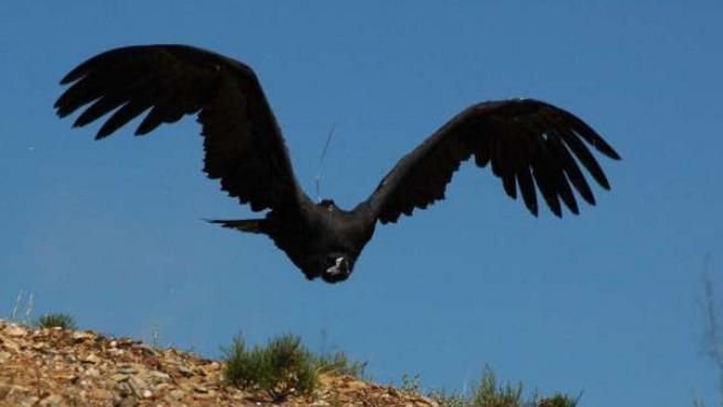Ejemplar de buitre negro en pleno vuelo