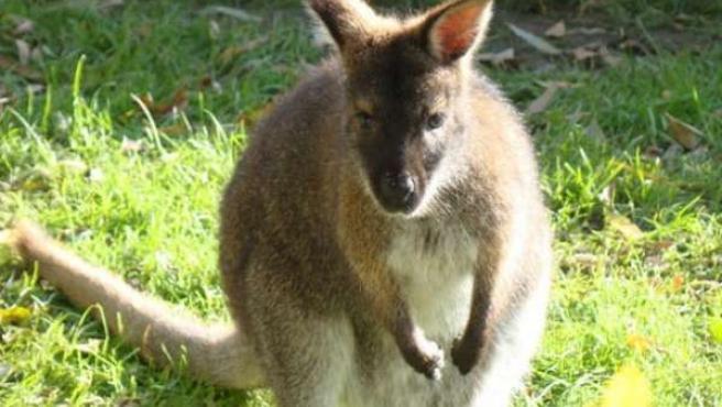 Madre del marsupial nacido en el Parque del Oeste de Málaga