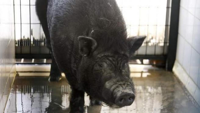 Un ejemplar de cerdo vietnamita, incluido como especie invasora