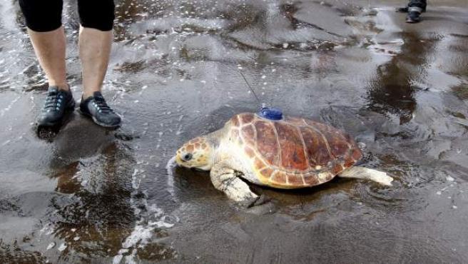La tortuga Leona ha llegado a Gran Canaria tras ser encontrada en Irlanda
