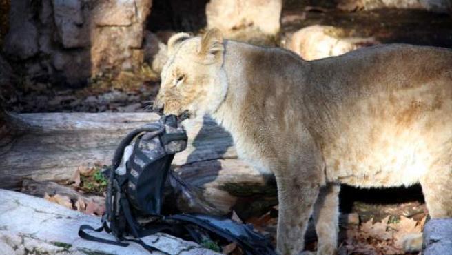Una leona muerde la mochila del hombre que ha entrado a su recinto en el zoo de Barcelona este 7 de diciembre.