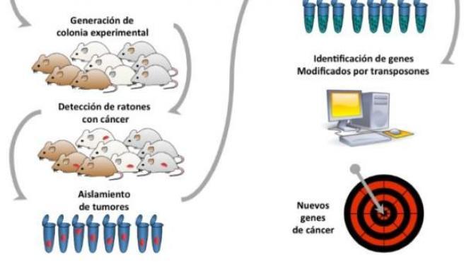 El dibujo explica cómo han identificado nuevos genes para el diagnóstico del cáncer de páncreas.