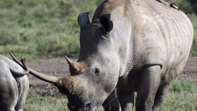 Un rinoceronte blanco del norte, en el parque de Nakuru (Kenia).