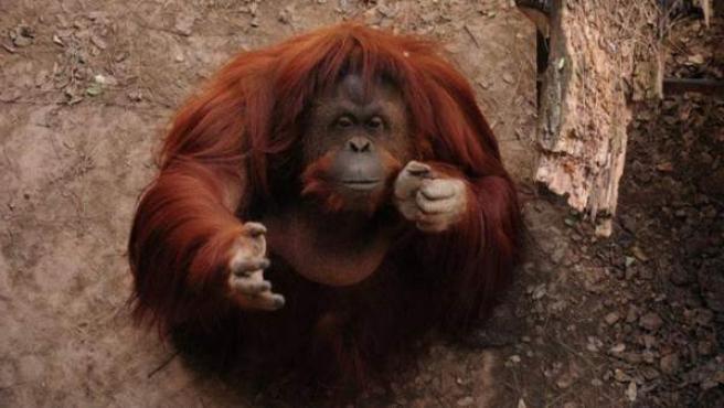 Imagen de la orangután Sandra colgada por Afada en su Facebook.
