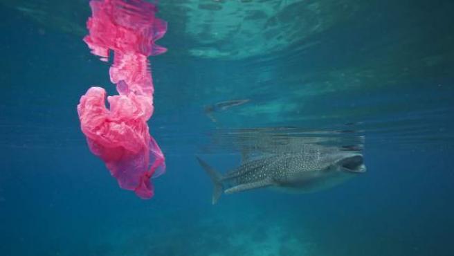 Un tiburón ballena nadando mientras una bolsa de plástico flota a su alrededor