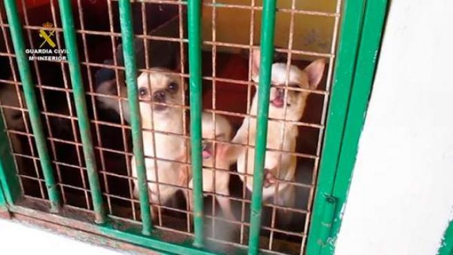 Cachorros de perros intervenidos por la Guardia Civil.