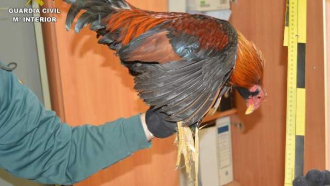 Uno de los gallos intervenidos por la Guardia Civil.