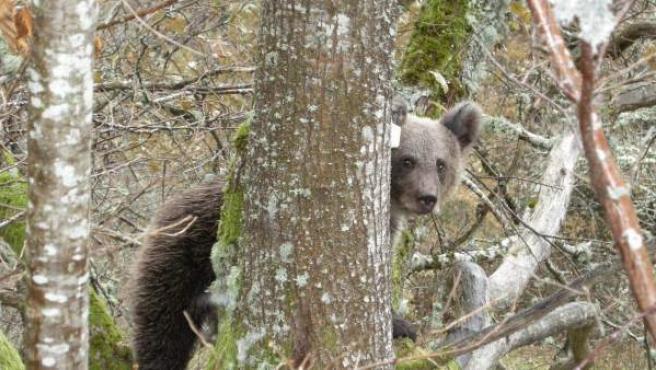 Quedan en torno a 250 ejemplares de oso pardo en España