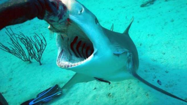 Un buceador alimenta a un tiburón.