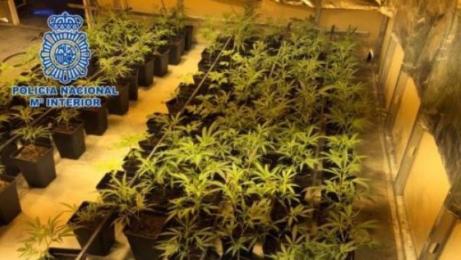 Más de 1.700 plantas de marihuanas en el sótano de un chalé de Villaviciosa de Odón (Madrid).