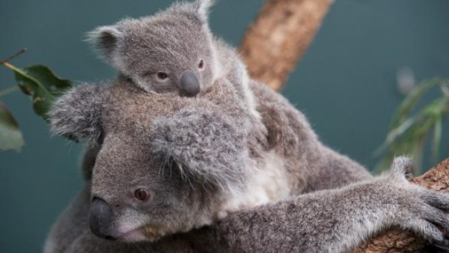 Imagen de archivo de un koala y su cría.