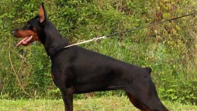 Imagen de un perro doberman con la cola amputada.