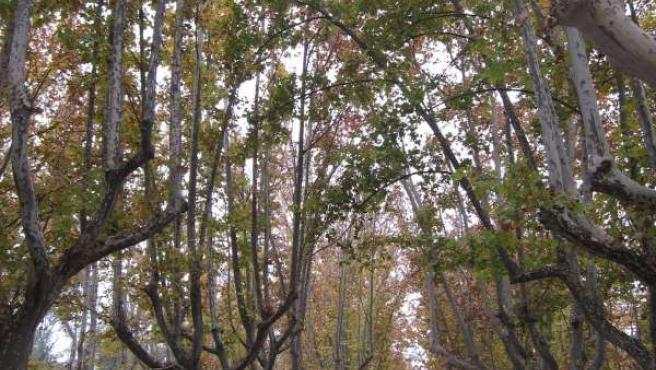 Avda. De Los Bearneses En El Parque Grande Labordeta De Zaragoza. Paseo. Árboles