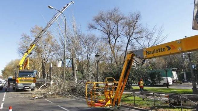 Operarios talando árboles en el Paseo del Prado, a la altura del Caixa Fórum.