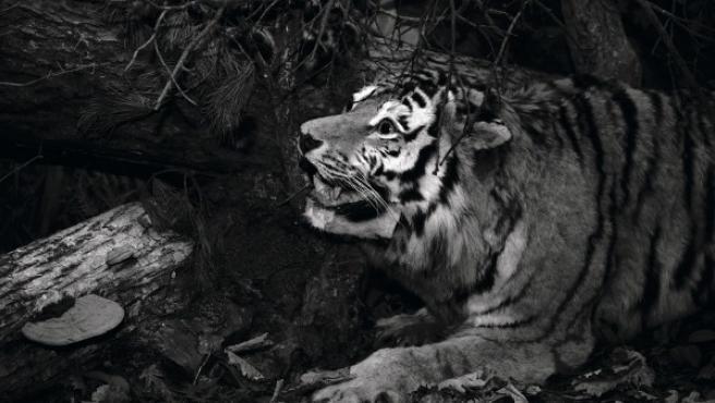 Un tigre siberiano disecado, símbolo del rodaje de 'Dersu Uzala' al que fue llevado Yury Toroptsov por sus padres cuando era un bebé