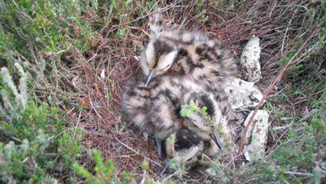 Un nido con dos nuevos pollos de zarapito real. En la Península Ibérica quedan 4 ó 5 parejas.