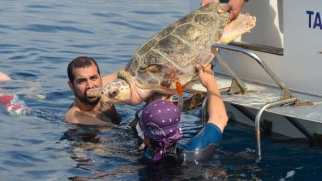 Reintroducción en el mar de una tortuga boba.