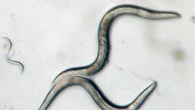Las lombrices Caenorhabditis elegans comparten una cantidad considerable de material genético con los humanos.