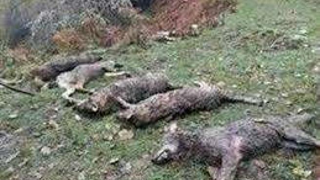 Cadáveres de lobos.