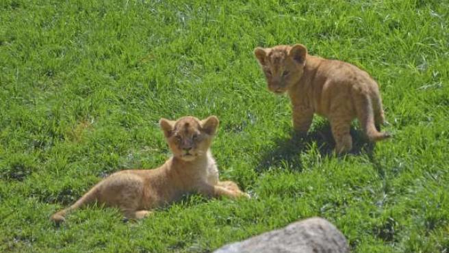 Los cachorros Kianga y Shango en Bioparc Valencia