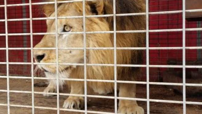 León enjaulado intervenido por la Guardia Civil
