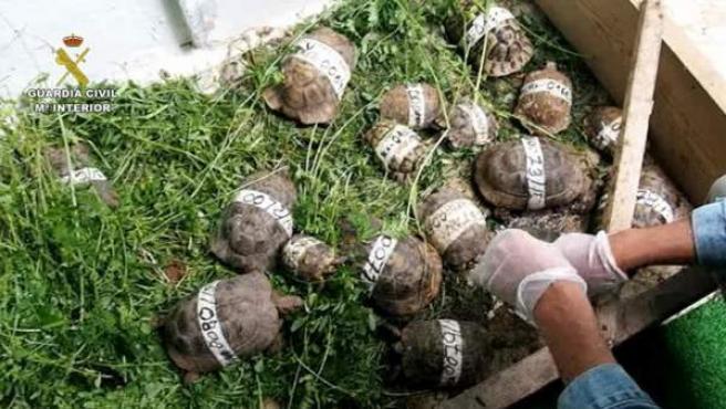 Varias tortugas mora, recuperadas en la operación Cobra III, la última campaña de control mundial contra el tráfico ilegal de flora y fauna amenazadas.