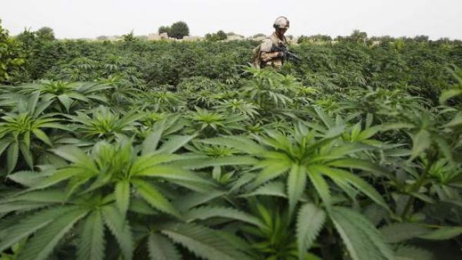 Un soldado atravesando una plantación de marihuana.