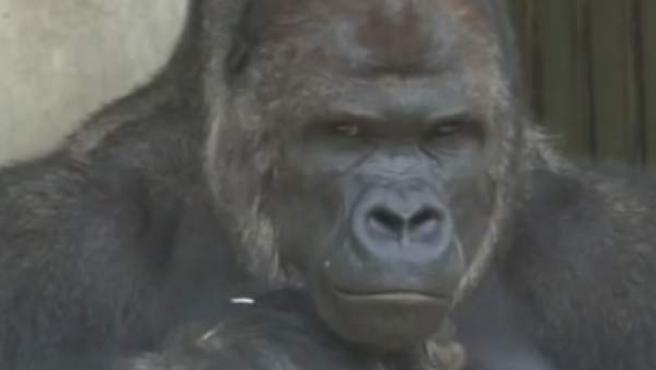 Shabani, el gorila 'más sexy'.