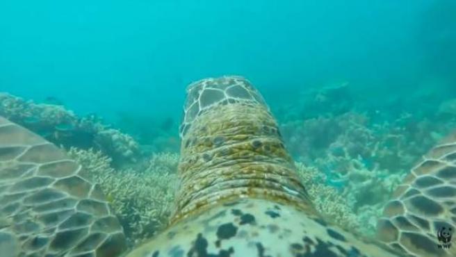 Captura del vídeo creado por WWF y logrado gracias a una cámara a bordo de una tortuga en la Gran Barrera de Coral en Australia.