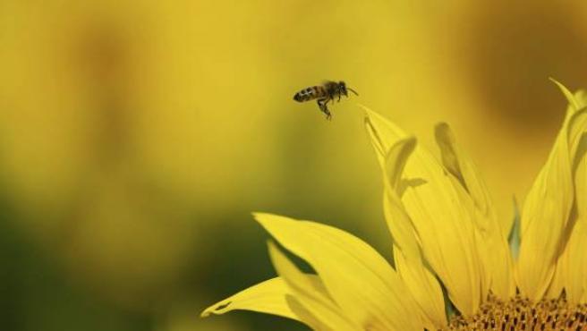 Una abeja sobrevuela un campo de girasoles en Gueterfelde (Alemania).