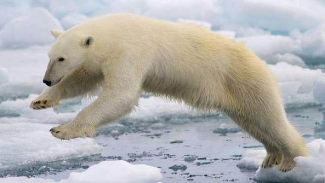 Un oso polar salta sobre el hielo en la costa ártica cercana a Noruega.
