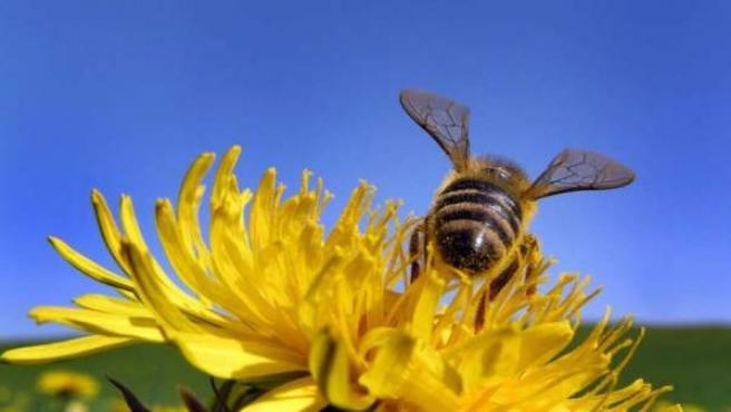 Una abeja recolecta polen de una flor en Biessenhofen (Alemania).