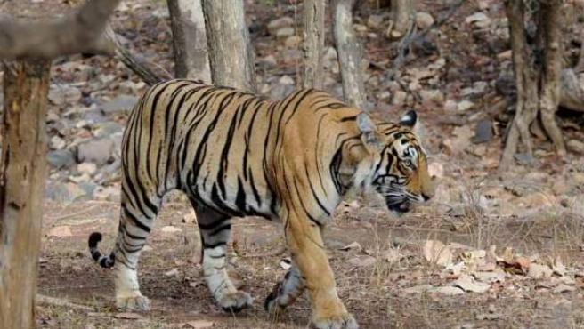 Un tigre de bengala en el Parque Nacional de Ranthambore, en India