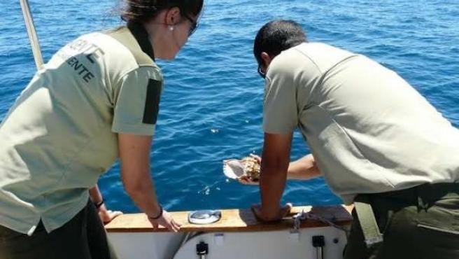 Junta devuelve al mar once ejemplares de caracolas o bocinas.